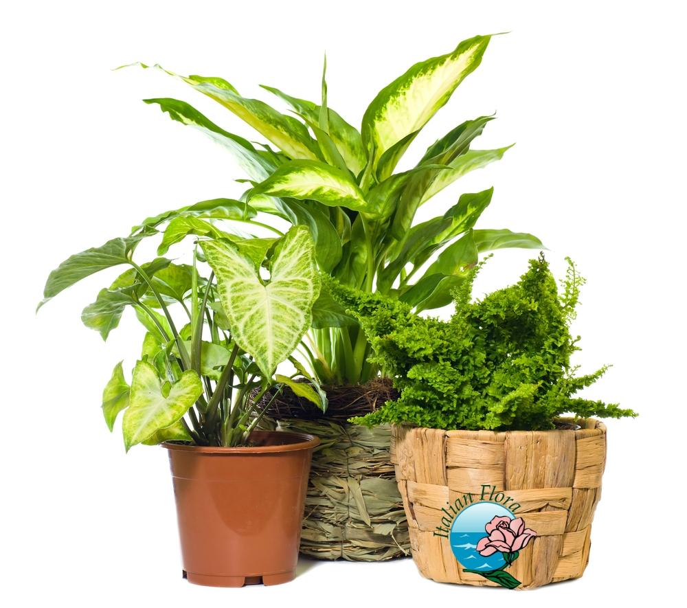 Piante da regalare per appartamento e ufficio fiorista - Piante verdi interno ...