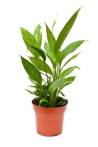 Regalare una pianta di Spathiphyllum