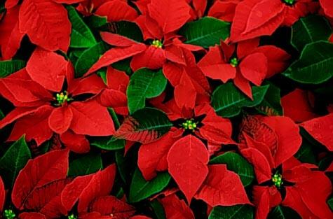 Significato Della Stella Di Natale.La Bellezza E Il Significato Della Stella Di Natale Fiorista Online