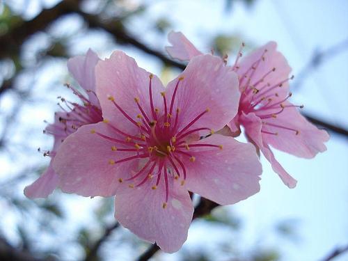 la femminilità del fiore di Ciliegio