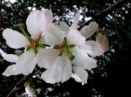 il fiore di mandorlo che significa speranza