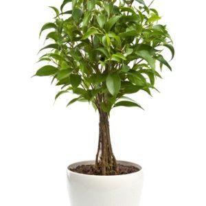 Pianta di Ficus Benjamin