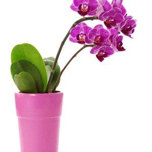 Pianta di orchidea Phalaenopsys rosa