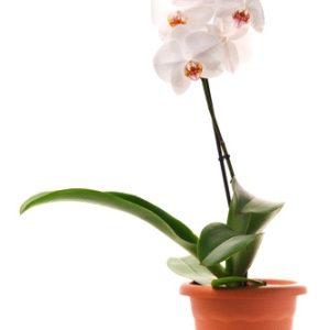 Pianta di Orchidea Phalaenopsys bianca