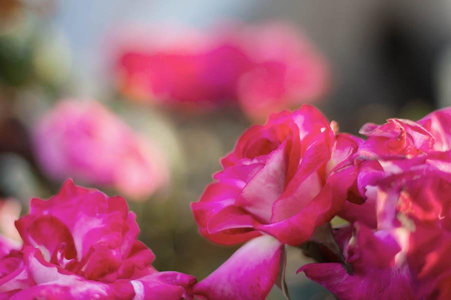 Regalare un mazzo di rose in base al colore: ecco il significato